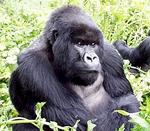 Kuryama the Mountain Gorilla